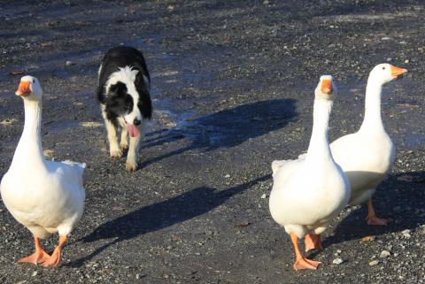 Border collie croisé berger australien pictures to pin on pinterest