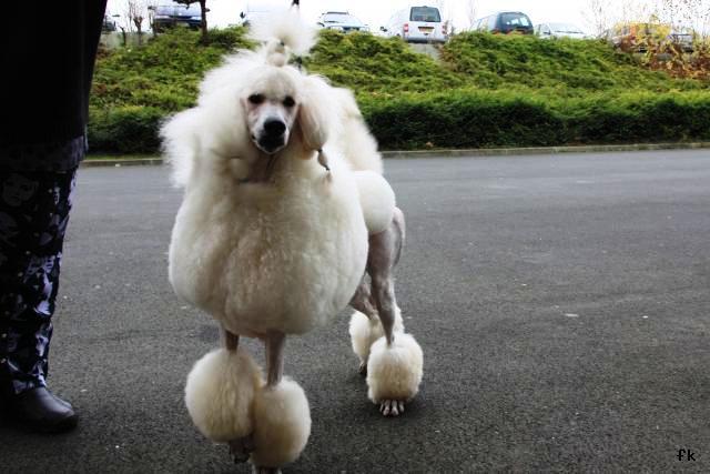 Caniche royal - L'avis du vétérinaire - Choisir son chien