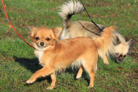 Chihuahua - L'avis du vétérinaire - Choisir son chien