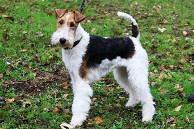 Fox-terrier � poil dur