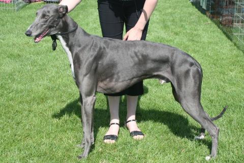 Le Greyhound Greyhound-1379