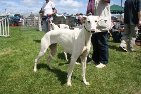 greyhound l vrier anglais l 39 avis du v t rinaire choisir son chien. Black Bedroom Furniture Sets. Home Design Ideas
