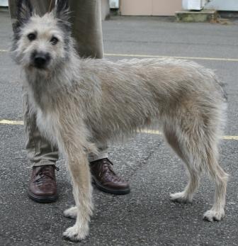 Uncategorized, Picture Of Array : Bouvier Des Ardennes   L'avis Du Vétérinaire   Choisir Son Chien: Bouvier des Ardennes   L'avis du vétérinaire   Choisir son chien