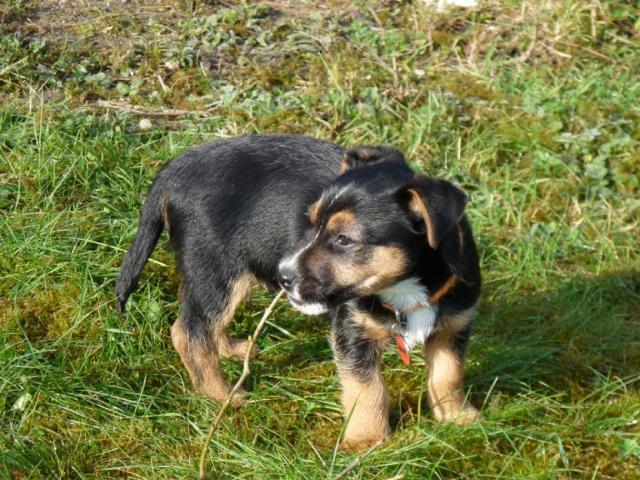 J 'n L Boston Terriers Border terrier - L'avi...