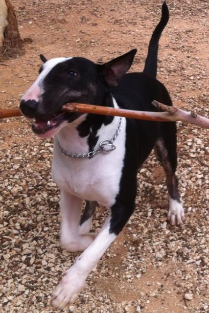 Bull terrier - L'avis du vétérinaire - Choisir son chien