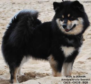 chien finnois de laponie les avis et les photos des internautes choisir son chien. Black Bedroom Furniture Sets. Home Design Ideas