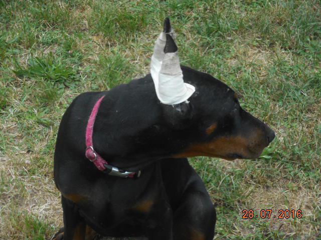Dobermann l 39 avis du v t rinaire choisir son chien - Vente dobermann oreilles coupees ...