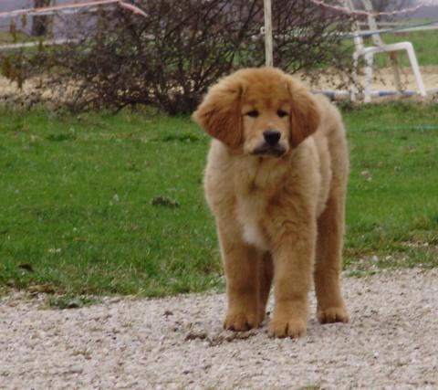 Super Dogue du Tibet - Mastiff tibétain - Les avis et les photos des  GO77