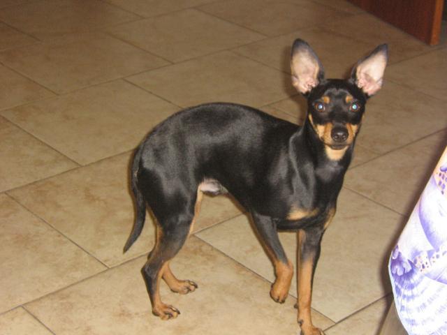 Pinscher moyen - L'avis du vétérinaire - Choisir son chien