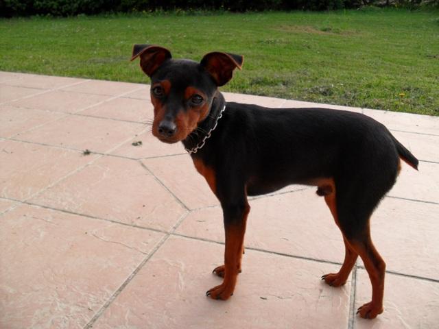 Pinscher nain - L'avis du vétérinaire - Choisir son chien