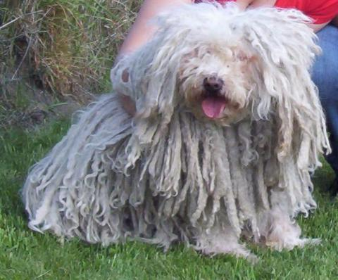 Puli - Berger hongrois - L'avis du vétérinaire - Choisir