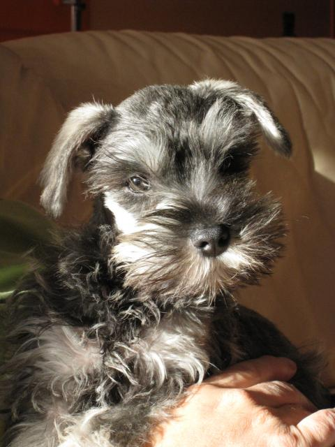 schnauzer nain les avis et les photos des internautes les avis choisir son chien. Black Bedroom Furniture Sets. Home Design Ideas