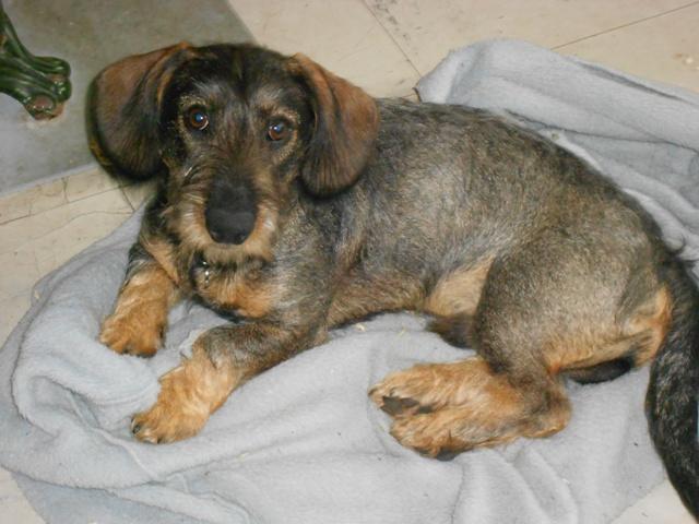 Teckel à poil dur - L'avis du vétérinaire - Choisir son chien