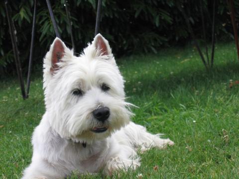 Eukanuba  chiens  westie  croquettes 2,5 kg, Alimentation Chiens  Animalis