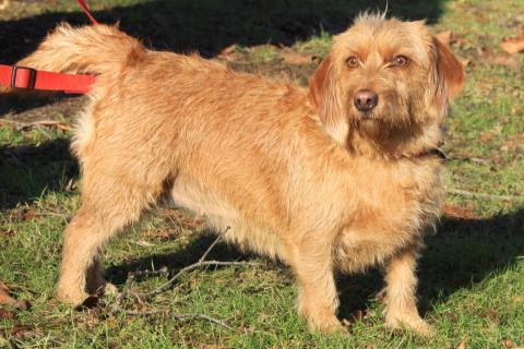 basset fauve de bretagne - l'avis du vétérinaire - choisir son chien