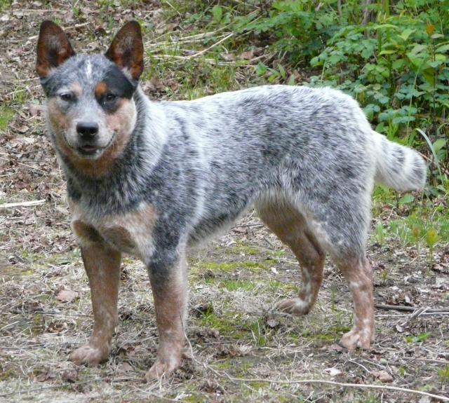 Bouvier australien - L'avis du vétérinaire - Choisir son chien