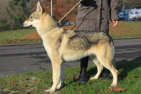 Nouveau Chien loup tchécoslovaque - L'avis du vétérinaire - Choisir son chien LS-88