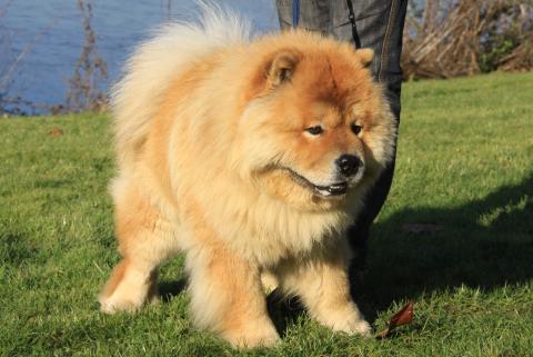 chow chow choo les avis et les photos des internautes choisir son chien. Black Bedroom Furniture Sets. Home Design Ideas