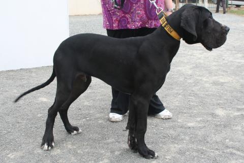 Dogue allemand - Grand danois - Les avis et les photos des