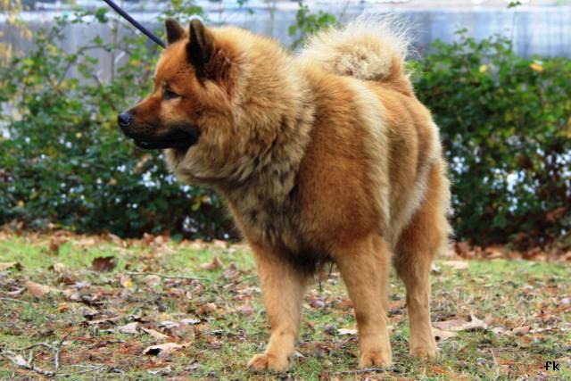 """Résultat de recherche d'images pour """"eurasier chien"""""""