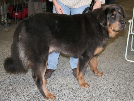 Sehr Dogue du Tibet - Mastiff tibétain - L'avis du vétérinaire  JF37