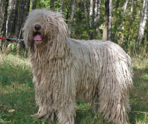 komondor chien de berger hongrois kiraly l 39 avis du v t rinaire choisir son chien. Black Bedroom Furniture Sets. Home Design Ideas