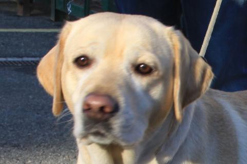 Labrador retriever - Retriever du Labrador - L\'avis du vétérinaire ...