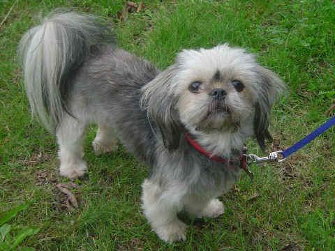 Préférence Lhassa apso - L'avis du vétérinaire - Choisir son chien UB64