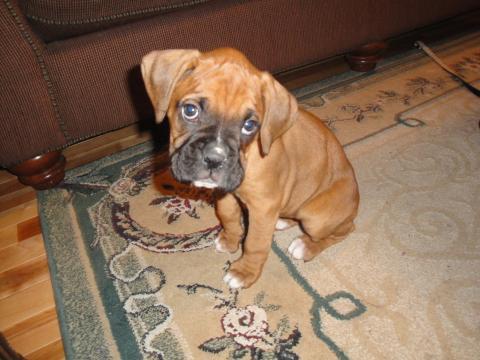 boxer - l'avis du vétérinaire - choisir son chien