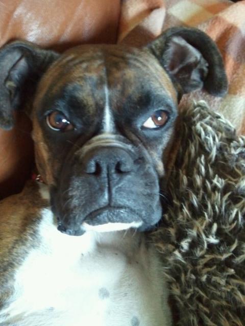 Extrêmement Boxer - Les avis et les photos des internautes - Choisir son chien FC72