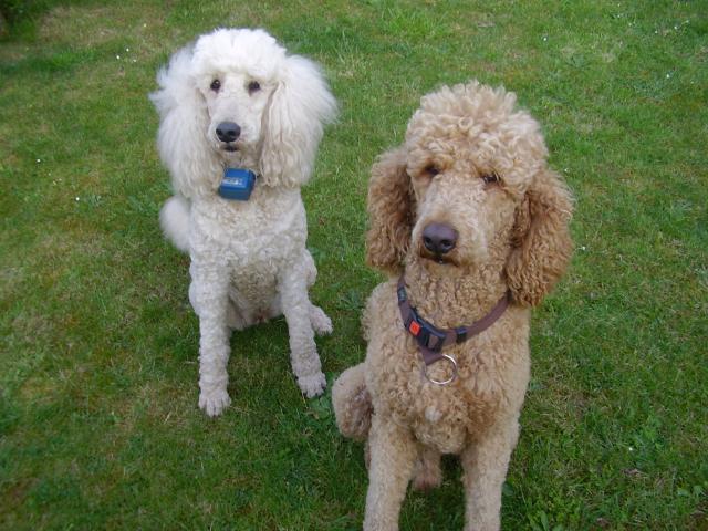 Caniche royal l 39 avis du v t rinaire choisir son chien for Avis maison compere