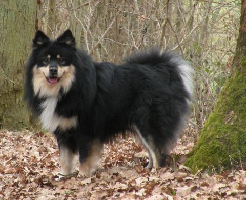 chien finnois de laponie l 39 avis du v t rinaire choisir son chien. Black Bedroom Furniture Sets. Home Design Ideas
