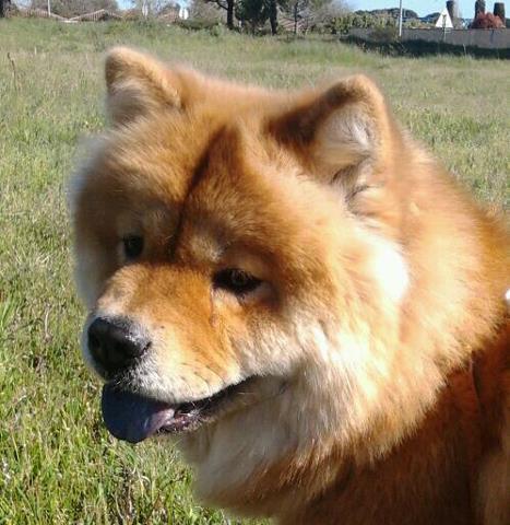 chow chow choo les avis et les photos des internautes les avis choisir son chien. Black Bedroom Furniture Sets. Home Design Ideas