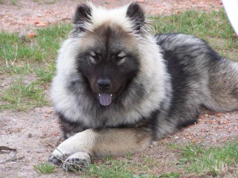 eurasier eurasian les avis et les photos des internautes les avis choisir son chien. Black Bedroom Furniture Sets. Home Design Ideas