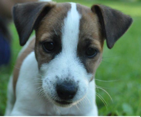 Jack Russell Terrier Les Avis Et Les Photos Des Internautes Les Avis Choisir Son Chien
