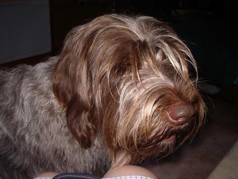 Drahthaar chien de garde