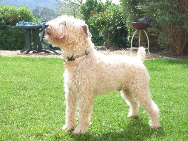 Soft coated wheaten terrier irlandais poil doux l - A poil dans son jardin ...