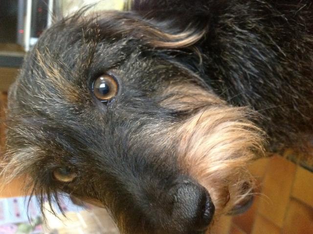 Teckel poil dur les avis et les photos des internautes choisir son chien - Foto poile ...