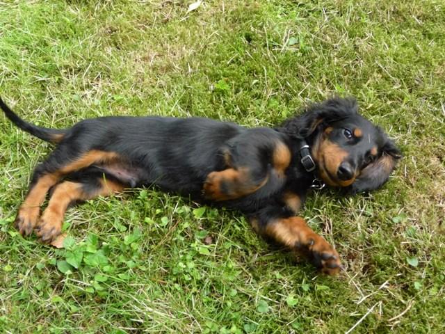 Teckel poil long l 39 avis du v t rinaire choisir son chien - Enlever poil de chien voiture ...