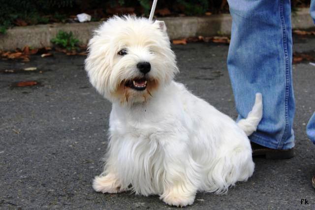 West highland terrier - Westie - L\'avis du vétérinaire - Choisir son ...